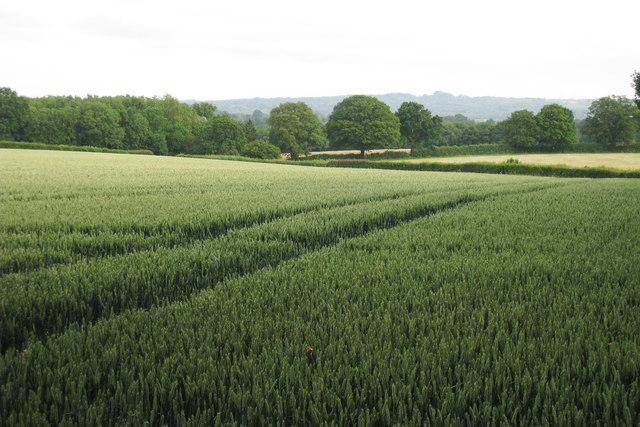 Wheat Field by Carter Farm