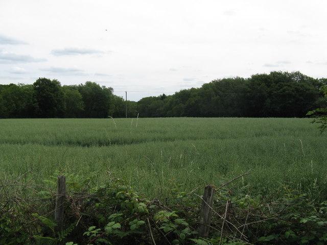 Field of Oats near Grovehurst Farm
