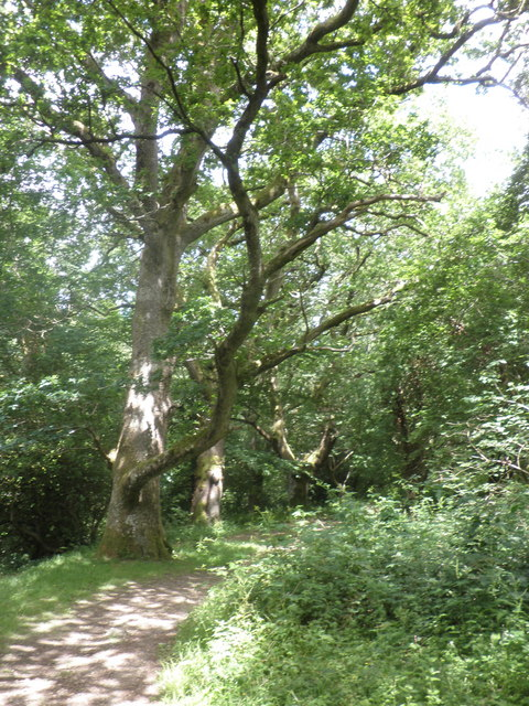 Woodland path, on the Two Castles trail, near Okehampton