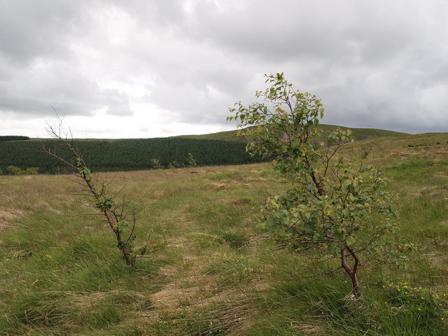 New trees on Mailer's Knowe