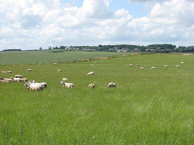 Sheep near Kaimflat