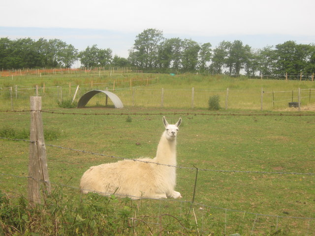 Llama in Chartham Hatch