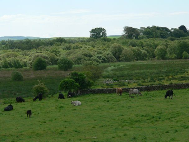 Cattle grazing at Boreland of Longcastle