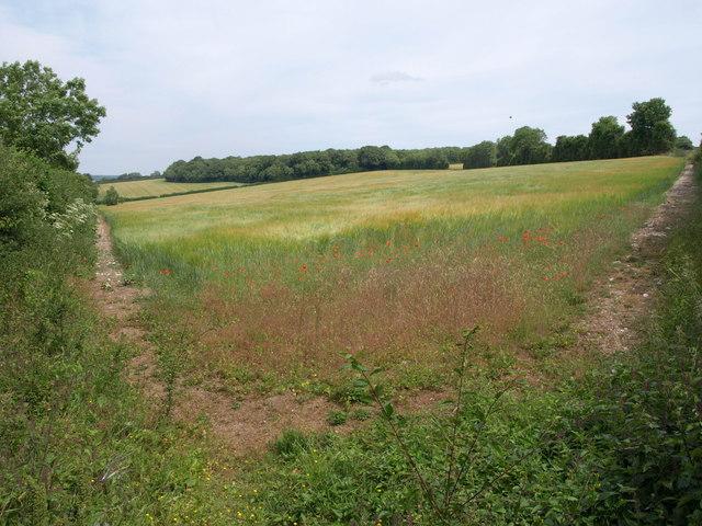 Field of barley near Snows Down