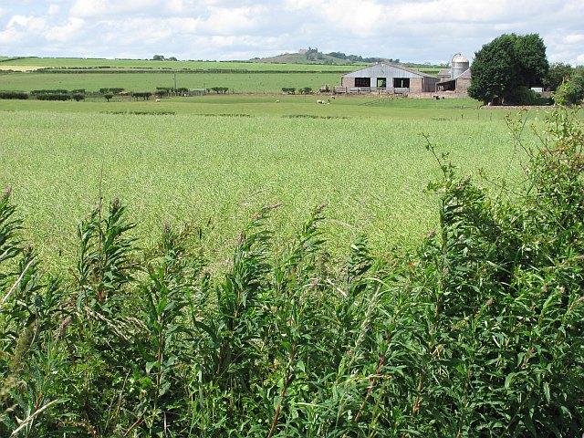 Oilseed rape,  Stichill Eastfield