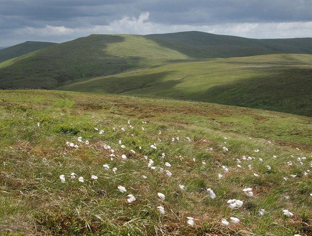 Cottongrass on Tarmangie Hill