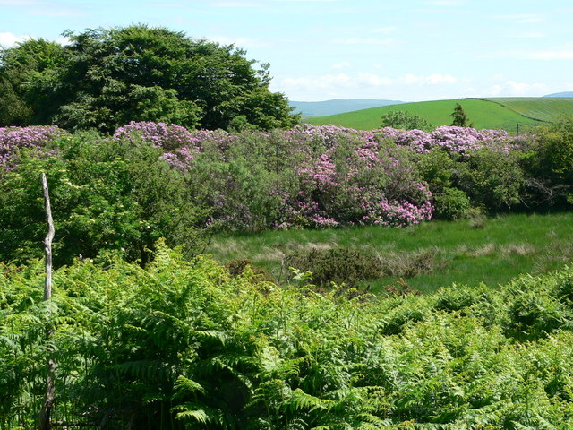 Rhododendron hedge at Barraer