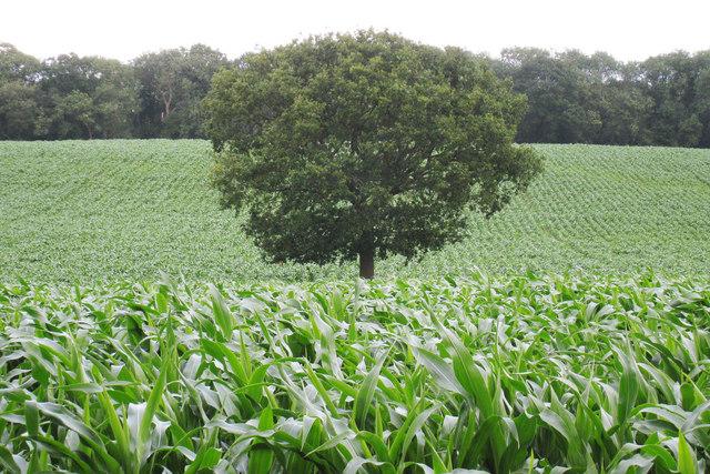 Maize Field near Whistlers Farm