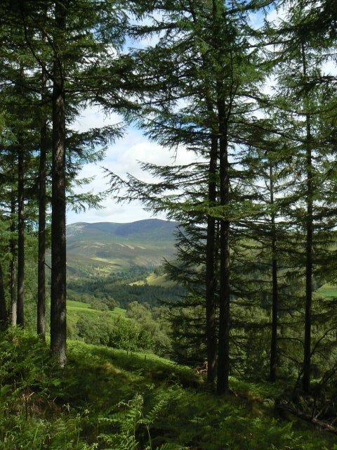 Trees above Glen Tilt