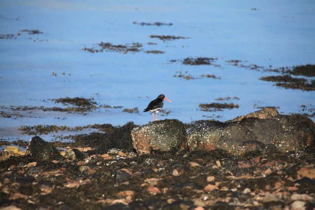 Oyster Catcher on the shore of Loch á Choire