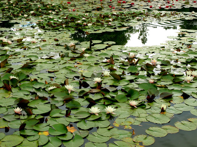 Burnby Hall Water Lilies