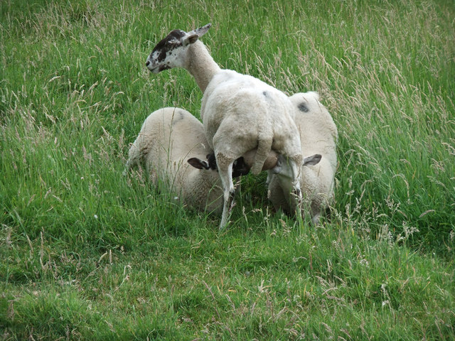 Sheep on Horkstow Carrs