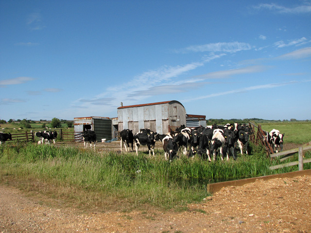 Cattle pen and sheds - and cattle