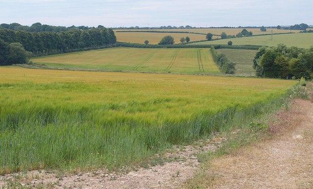 Barley near Pimperne