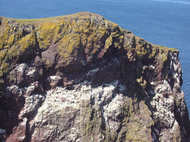 Auks nesting on the cliffs of Pettico Wick