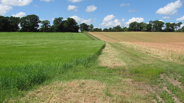 Barley on Whitrig Hill