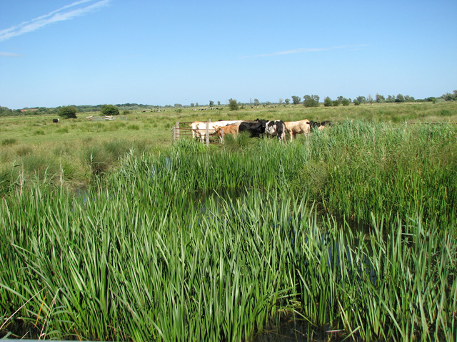 Cattle grazing pastures in Long Dam Level