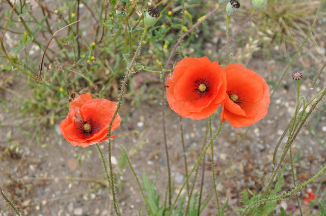 Poppies growing on wasteland on former RAF Finningley