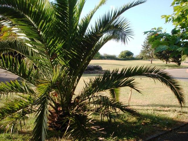 Canary palm, Hollicombe Gardens, Paignton