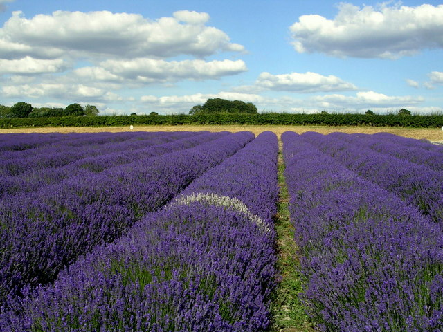 Lavender field at Hartley Park Farm