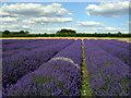 SU7335 : Lavender field at Hartley Park Farm : Week 27