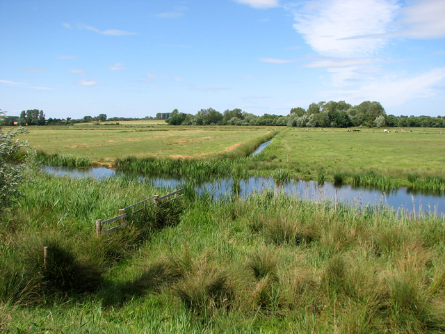 Cattle in marsh pastures north of the River Waveney