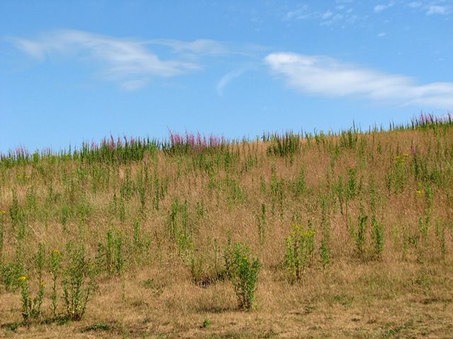 Willowherb and ragwort on the brow of a hill