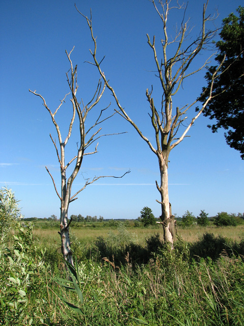 Dead trees in reed beds north of the River Waveney