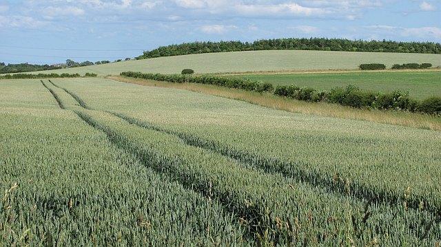 Wheat field near Coldstream
