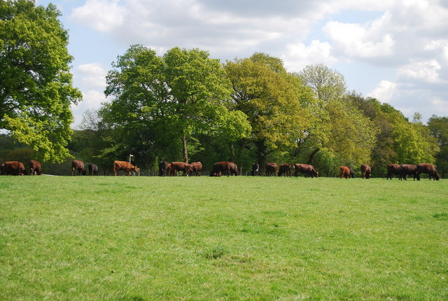 Cattle grazing near Hammond's Farm