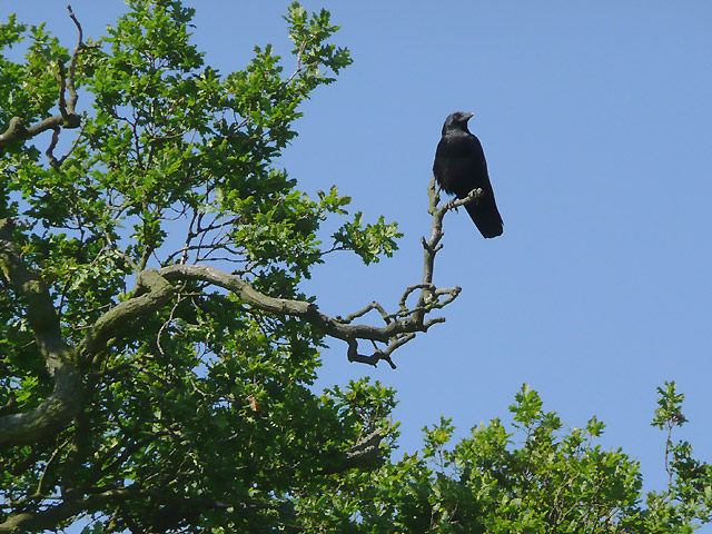 Crow on an oak tree watching the canal near Congerstone