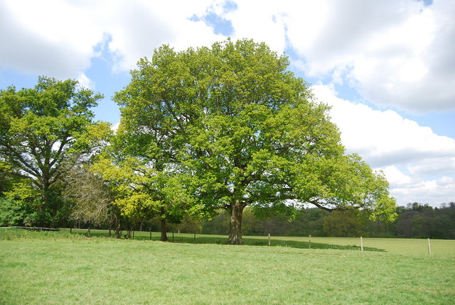 Large Oak tree by the Sussex Border Path