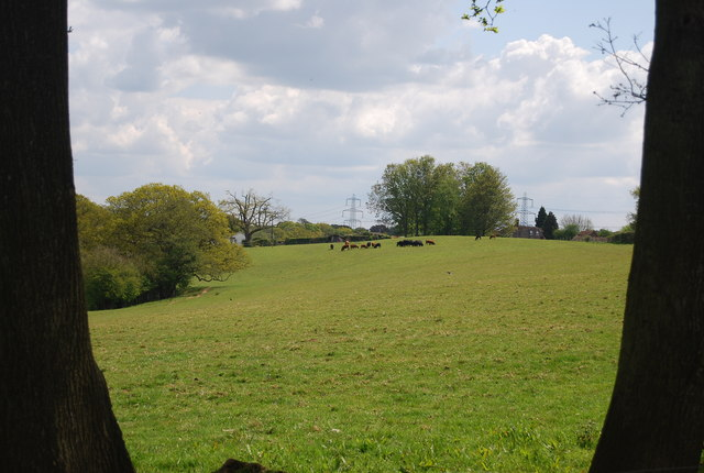 Cattle grazing near Lindfield Farm