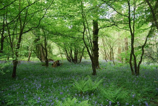 Bluebells, Sandpits Wood