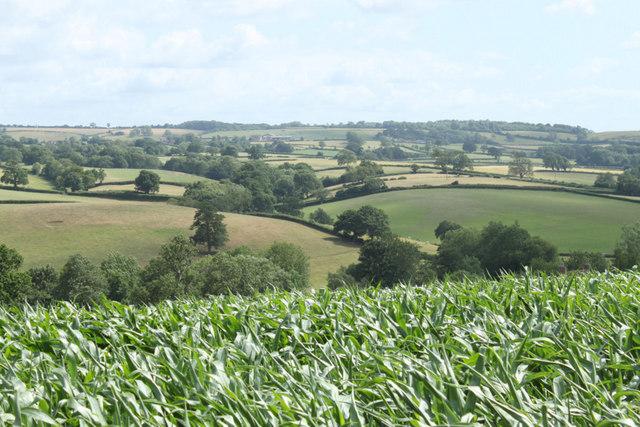 2010 : Field of maize near Belluton