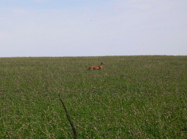 Deer running on Cocking Down