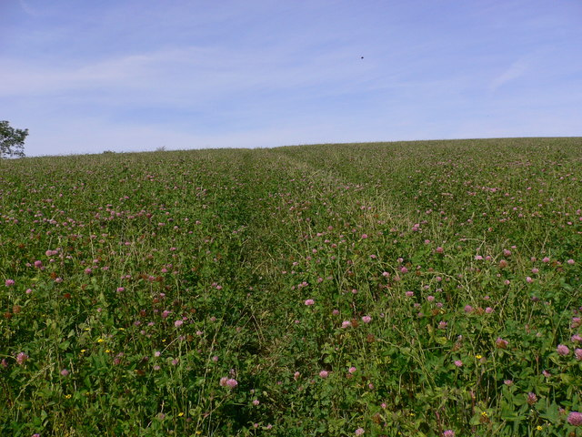 Clover field on Cocking Down