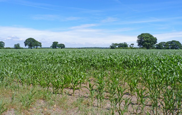 Field of Young Maize at Burton