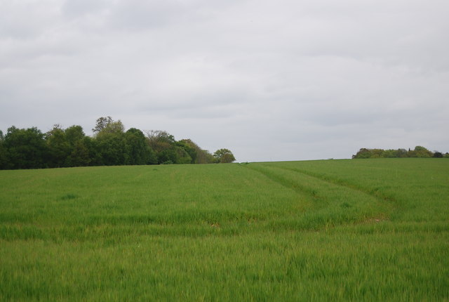 Young wheat growing by the Sussex Border Path