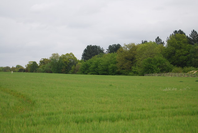 Wheat and woods near Freshfield Lane
