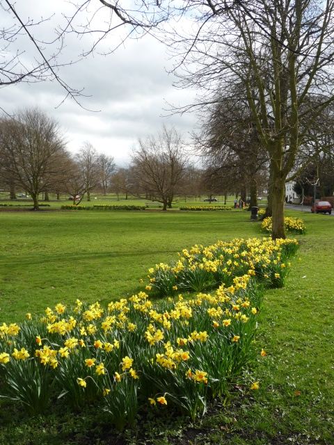 Daffodils along Park Parade