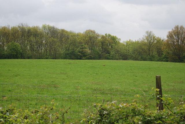 Pheasant in a field by Freshfield Lane