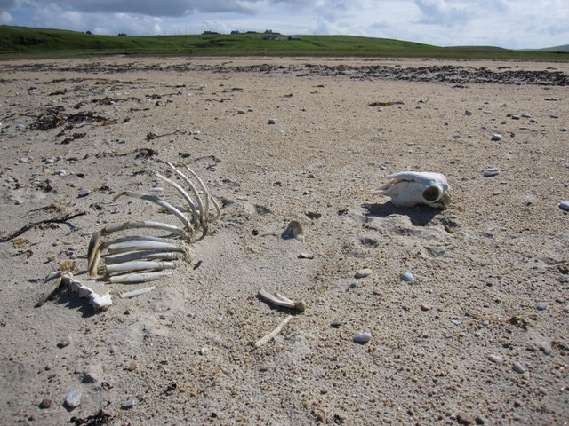 Skeleton on Burrafirth beach