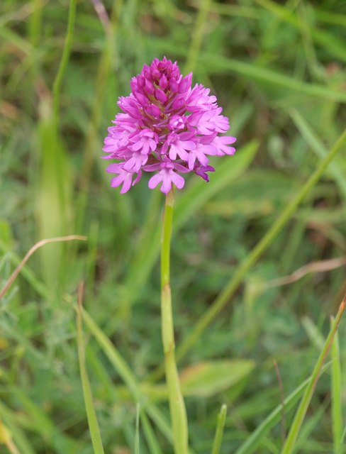 Pyramidal orchid above Durweston