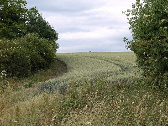 Wheatfield near Turnworth