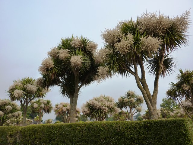 Blooming Torbay Palms, near Torre Abbey, Torquay