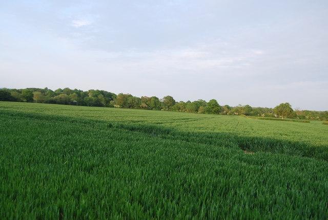 Wheat field north of Charcott