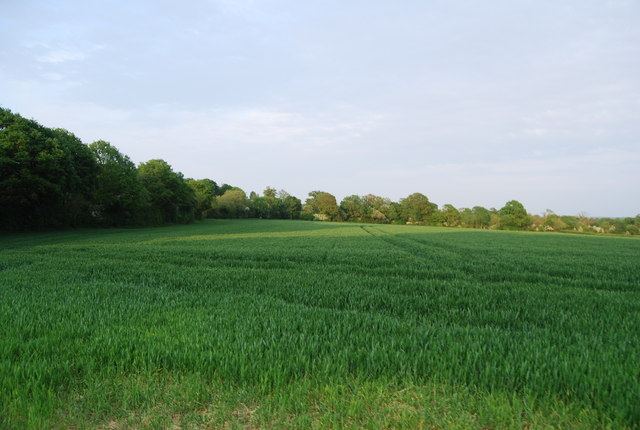 Wheat field between Brownings and Wickhurst farms