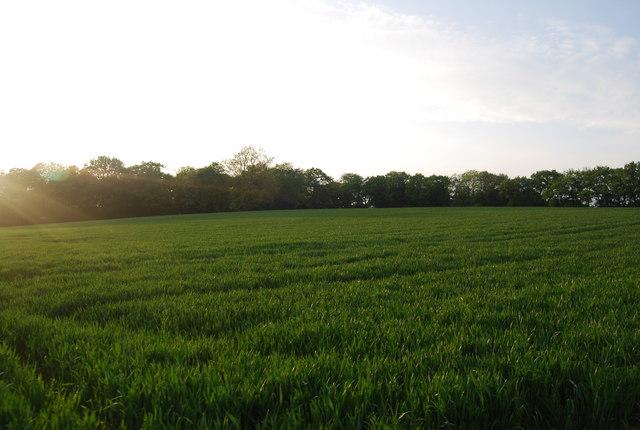 Wheat field near Wickhurst