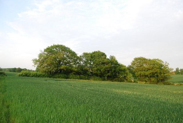 Trees and wheat near Wickhurst